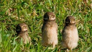 BUHO SABANERO Athene cunicularia   Burrowing Owl NESTING ANIDANDO