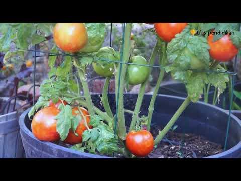 Cara Menanam Tomat Dalam Polybag Atau Pot