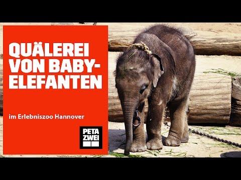 Quälerei von Babyelefanten im Erlebniszoo Hannover // PETA ZWEI