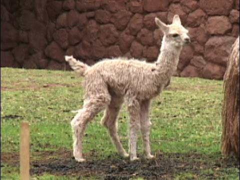 Valley Miniature Llamas Welcomes You