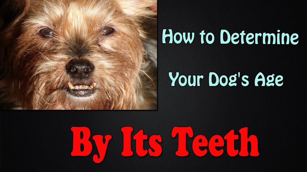 How to determine your dogs age by its teeth youtube how to determine your dogs age by its teeth ccuart Image collections