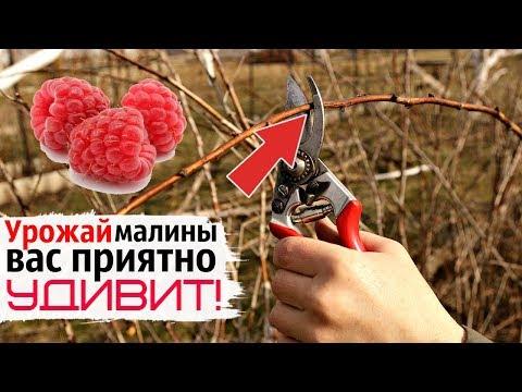 Как обрезать малину осенью в октябре ноябре начинающим садоводам?