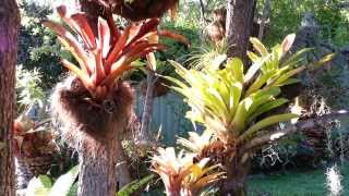 Bromeliad mix Plants - Bromelia planta de exceptie - Top 10 Bromeliads HD 01