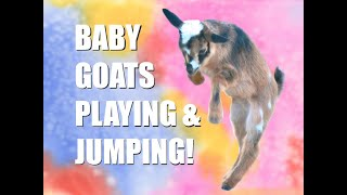 Baby Goats Playing and Jumping, Funny Baby Goats, Happy Baby Goats—Episode 8