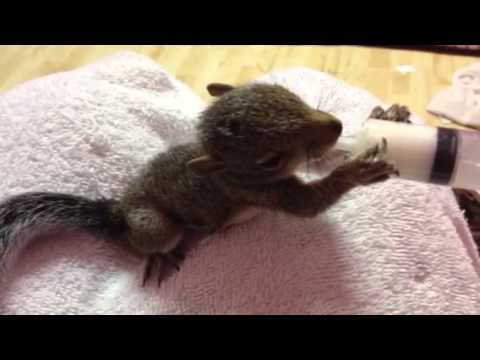 Bottle (actually syringe) feeding my baby squirrel