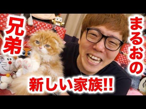 【ご報告】まるおの兄弟が家族になりました!まるおと初対面!【2匹目の猫】