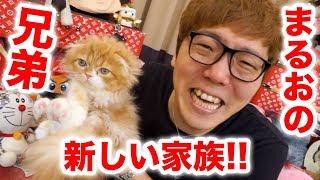 【ご報告】まるおの兄弟が家族になりました!まるおと初対面!【2匹目の猫】 thumbnail