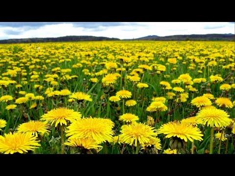 Польза цветов одуванчика. Лечебные цветы одуванчика
