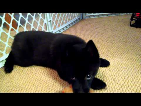 Mr. Bear the Schipperke plays with his favorite toy