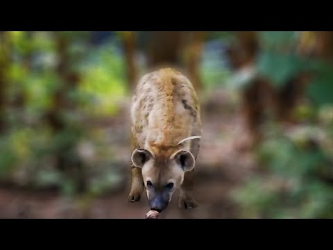 Curious spotted hyena