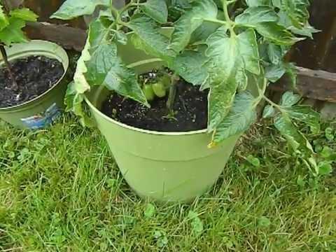 My Container / Patio Tomato Plants