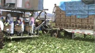 Salad Harvest With Tan Freshtotes By Intercrate