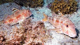 Chasse sous marine - Rouget Méditerranéen