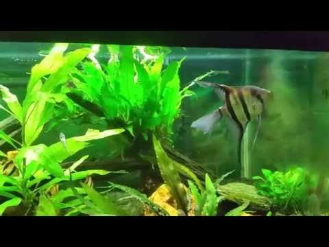 Angelfish With Tiger Barbs Is Not A Good Idea.