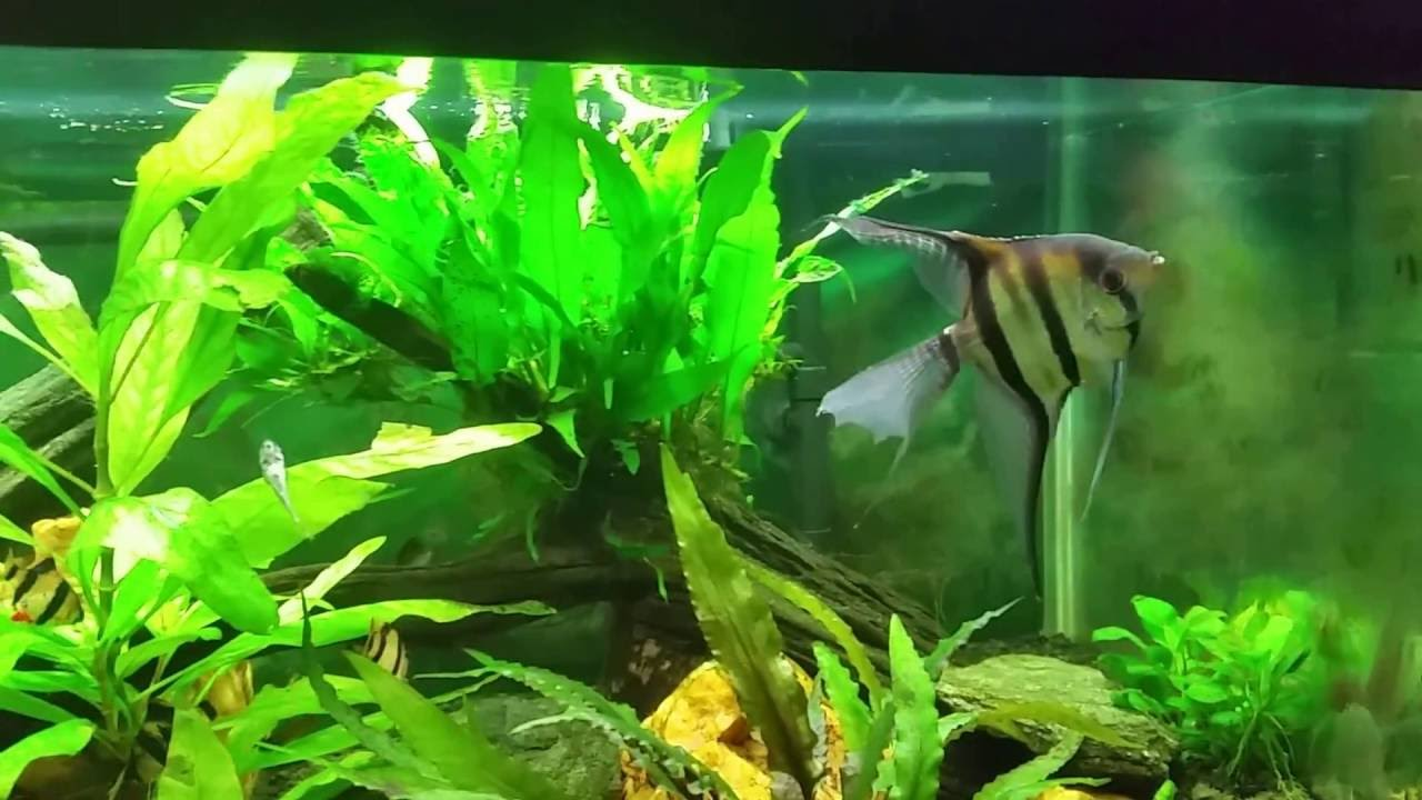 Angelfish With Tiger Barbs Is Not A Good Idea Youtube