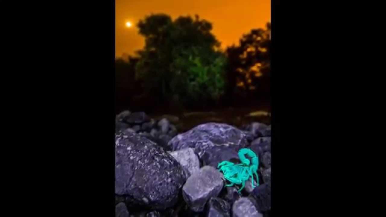 Cómo se ven los escorpiones por la noche... (ver en HD