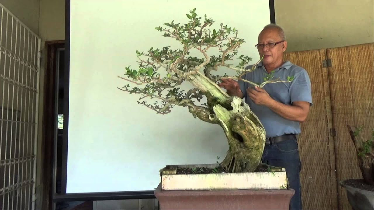 Bonsai Wiring Techniques Youtube Experience Of Diagram Branches Tutorials For Beginners Branch Structure Shaping Rh Com Avocado Cutting