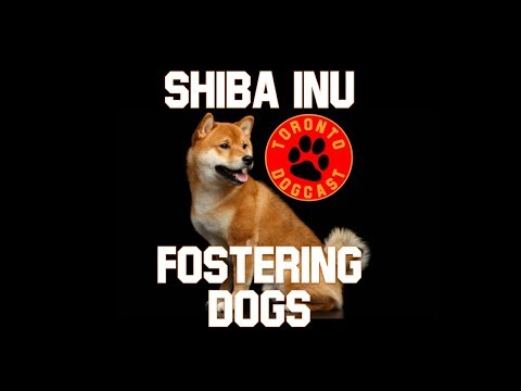 Fostering a Dog & Shiba Inu Breed Information - The Toronto Dogcast -  (Episode 5 )