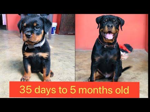Rottweiler puppy 35 days to 5 months old #rottweiler #rottweilerpuppy #gaurddog