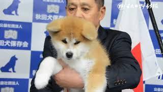 ザギトワ選手に贈る秋田犬 保存会が披露 大館