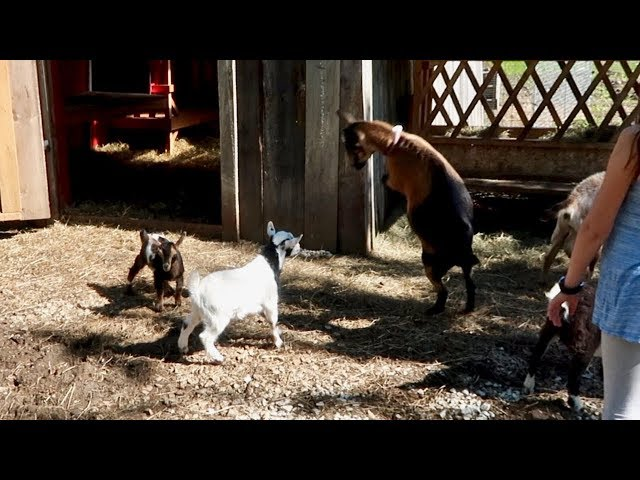We Let the BABY Goats Out with the HERD and this is what HAPPENED