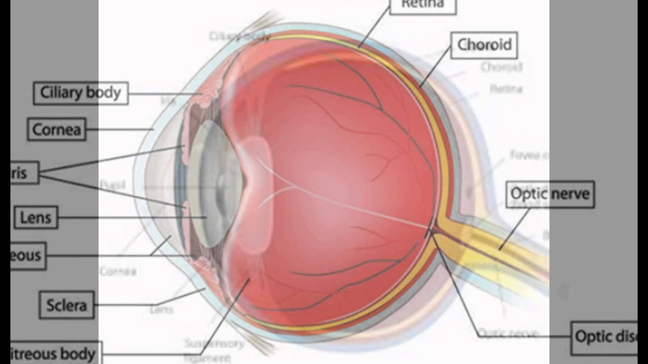 What Is The Function Of The Cornea In The Eye - YouTube