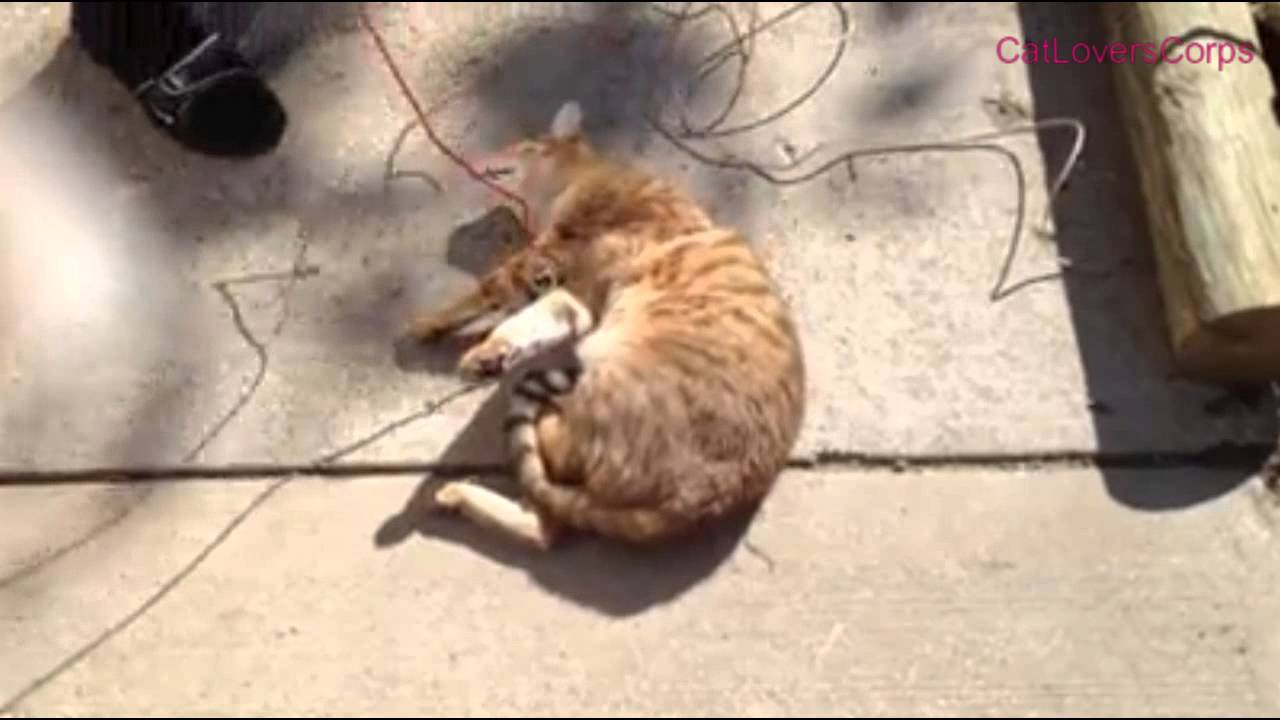 Funny Bengal Cat Videos | Bengal Cat Playing Dead - YouTube