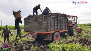 Gambar cover Cận Cảnh Xe Máy Cày Belarus 825 Mạnh Mẽ Chở Khoai Mì Tây Ninh | MTZ Tractor, LADY900