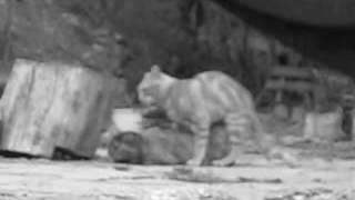 edipus the cat