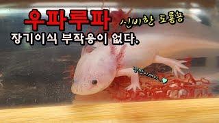 모기유충 1000마리를 초절정 귀요미 우파루파에게 줘보았다.  [정브르] / Let`s feed Mosquito larva  to Axolotls!!