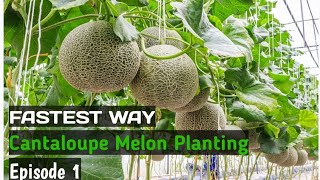 FAST WAY GROWING CANTALOUPE MELON   EP1 SOWING