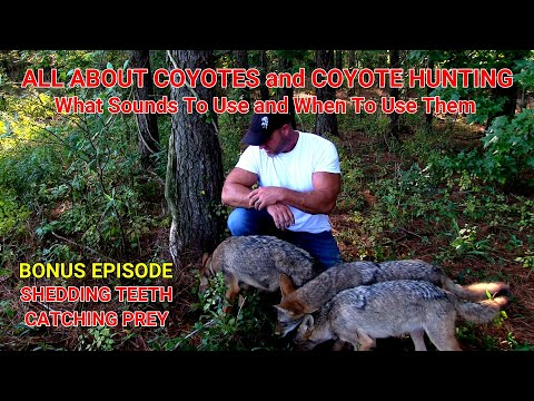 ALL ABOUT COYOTES And COYOTE HUNTING What Sounds To Use For Calling Coyotes And When To Use Them