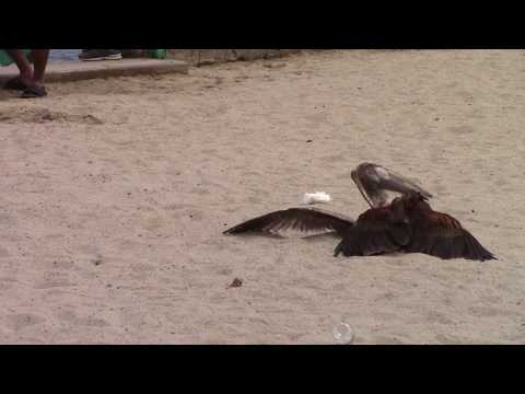 Falcon Catching A Seagull At Catalina Island
