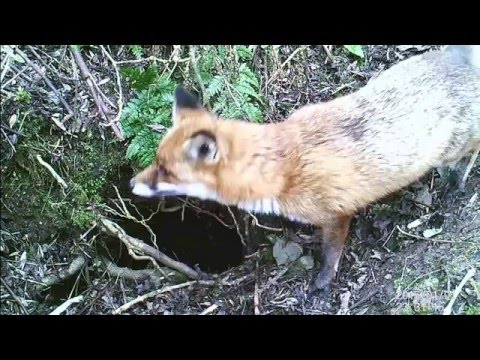 Fox and Badger caught on trail cam County Antrim