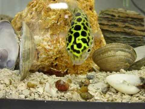 Green spotted puffer attacking a ramshorn snail