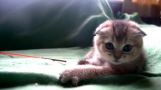 Ru-Star Fold - питомник шотландских кошек г. Москва