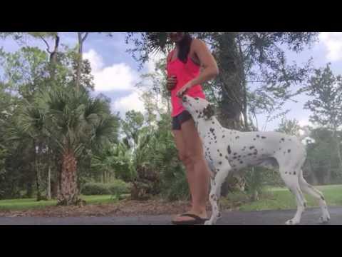 Dalmatian skills session dog training