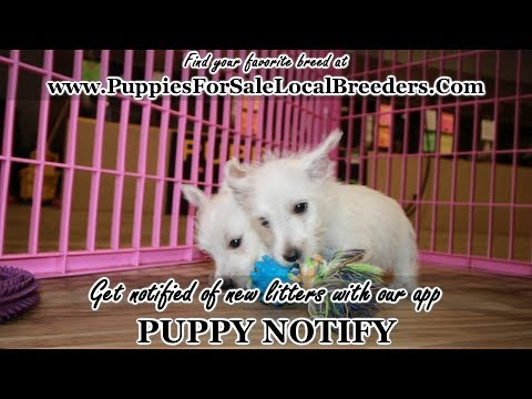 WEST HIGHLAND TERRIER PUPPIES FOR SALE, GEORGIA LOCAL BREEDERS, GWINNETT  COUNTY, GA