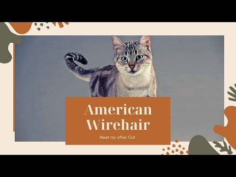 American Wirehair2020  American Wirehair cat Wirehair  cats   cat2020 American Wirehair cat 2020 cat