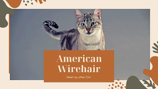 American Wirehair2020| American Wirehair cat|Wirehair| cats | cat2020|American Wirehair cat 2020|cat