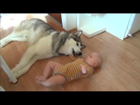 Husky and baby's friendship