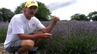 Perennial Flowers Growing Lavender