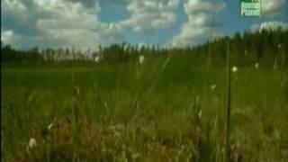 Животные в Чернобыле.  Часть 2.(Жизнь в мертвой зоне. Часть 2., 2009-04-06T00:52:28.000Z)