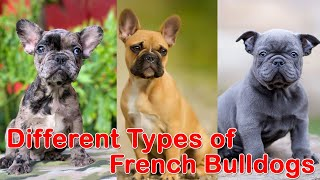 10 Different Types of French Bulldogs    French Bulldog Breeds