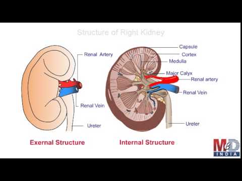 Anatomy Of The Urinary System Youtube