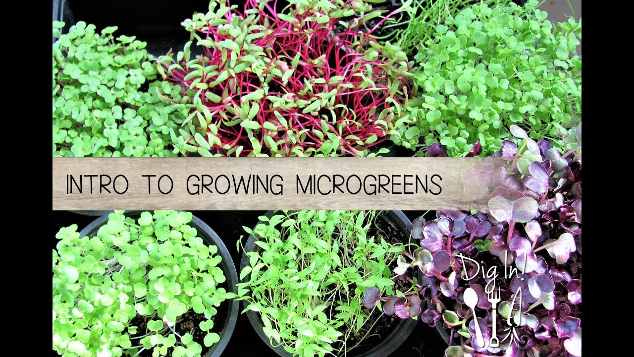 Easy Guide To Growing Microgreens The Micro Gardener
