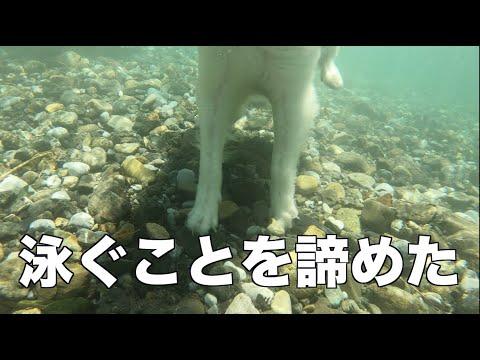 川で涼むグレートピレニーズとMIX犬