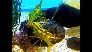 ホッカイエビ Hokkai shrimp Pandalus latirostris