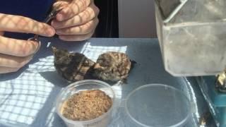 Как вырастить дома диких птенцов (воробьи)