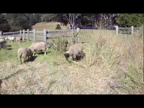 Sheep grazing at Sea Ranch CA stables #1 1.mp4